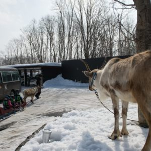 ki-niseko-reindeer-rides-6