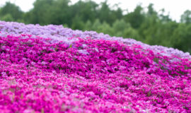 2017 Hdr Shibazakura Mishima Sans Garden Kutchan Town 2