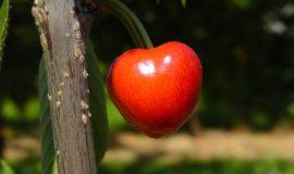 Cherry 178149 1920