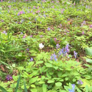 Some Katakuri Flower Were Seen At Kutchan Footpath