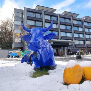 Ki Snow Cows sitting in snow