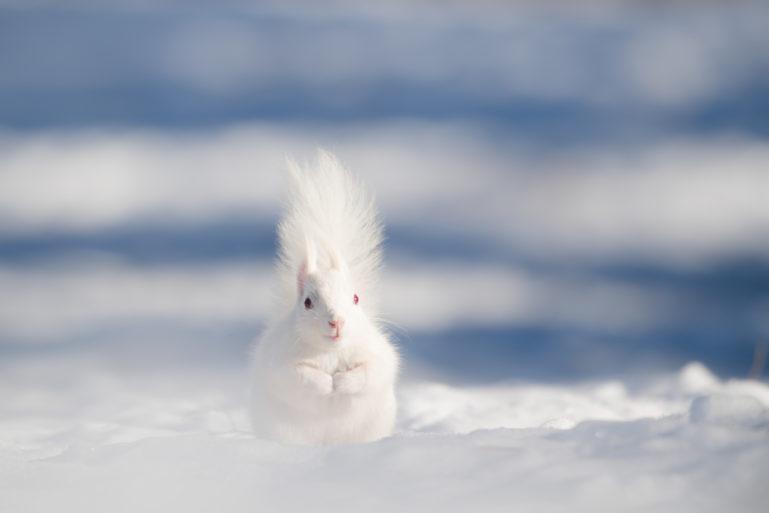 Akira Sato Hokkaido Squirrel