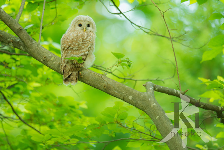 Owl With Watermark