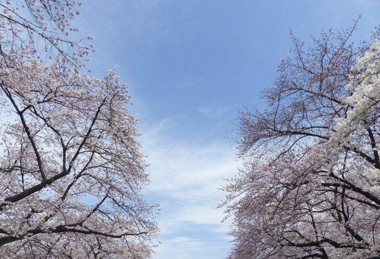 Sakura 720728 1280